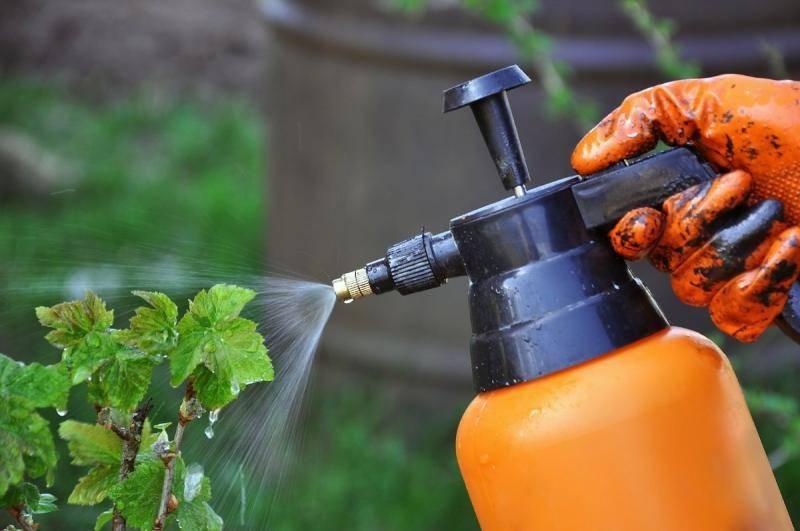 Черная смородина: борьба с болезнями. обработка сада весной. чем обработать черную смородину от болезней