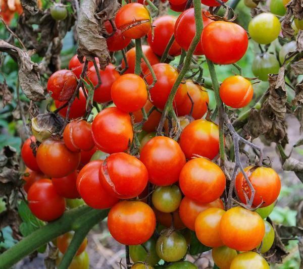 12 самых эффективных фунгицидов для томатов