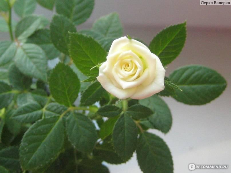 Как ухаживать за розой кордана микс дома и в саду