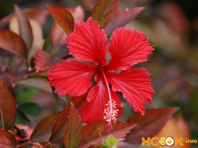 О суданской розе (каркаде): описание, выращивание в домашних условиях
