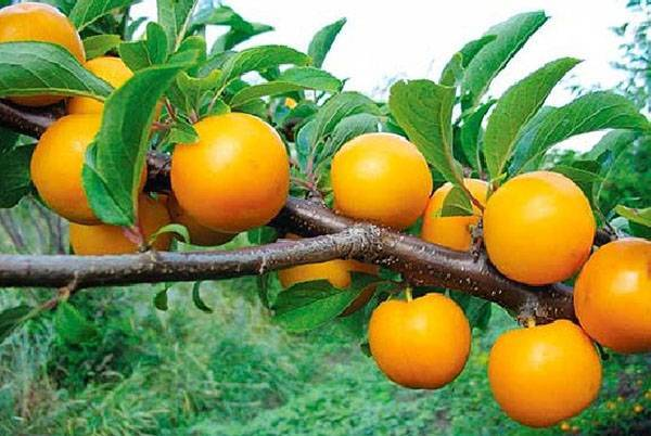 Алыча: посадка, выращивание и уход - моя дача - информационный сайт для дачников, садоводов и огородников