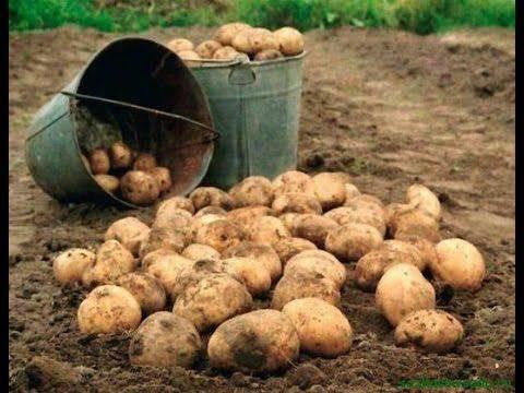 Посадка картошки под лопату, мотоблоком, в гребки, солому, ведра и мешки