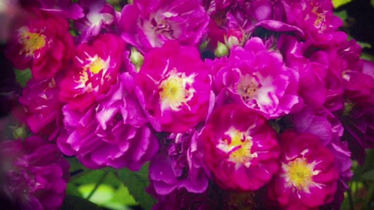 Самые неприхотливые и зимостойкие розы: рекомендации по выбору сорта для разных регионов