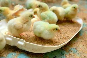 Как содержать и выращивать цыплят после инкубатора — требования к условиям и питанию