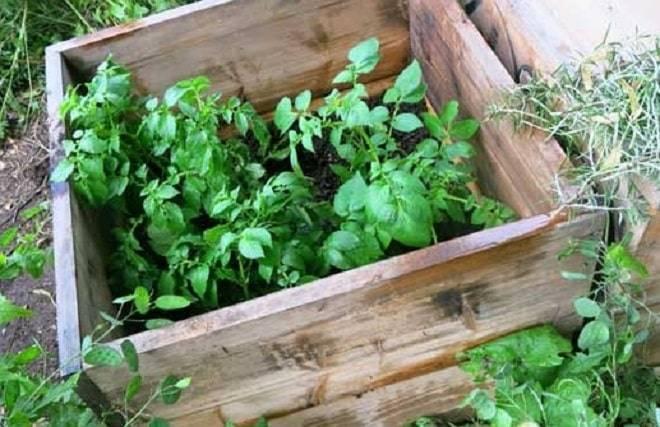 Особенности, преимущества и недостатки выращивания картофеля в мешках