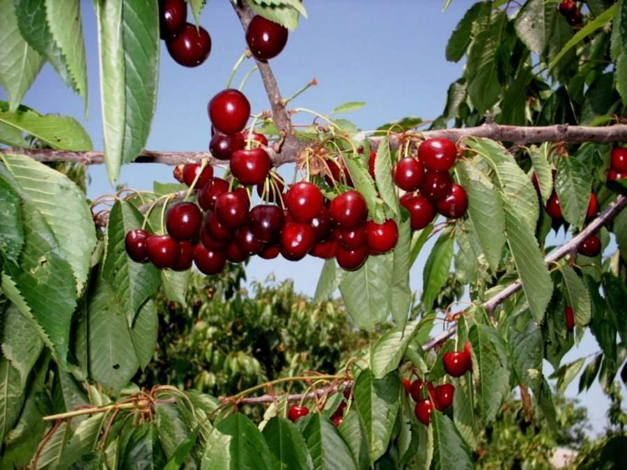 Сонник черешня дерево плоды. к чему снится черешня дерево плоды видеть во сне - сонник дома солнца