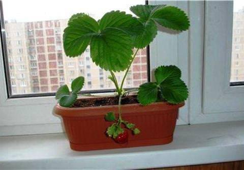 Как вырастить клубнику в домашних условиях: особенности, правила, полезные советы