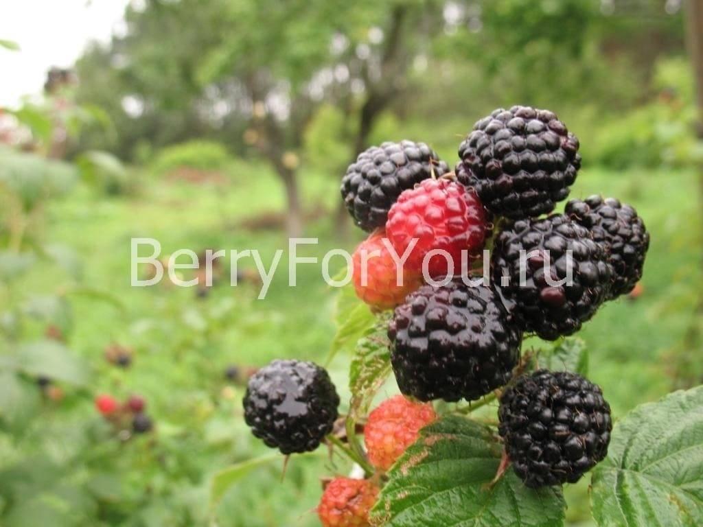 Чёрная малина сорта кумберленд: выращивание гибрида ежевики в саду