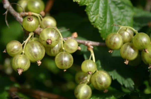 Популярные сорта зеленой смородины