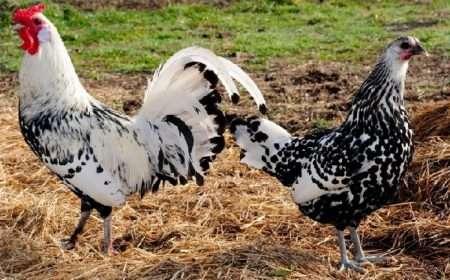 Всё о декоративных курах и бойцовских (спортивных) петухах: описание пород и фото птиц