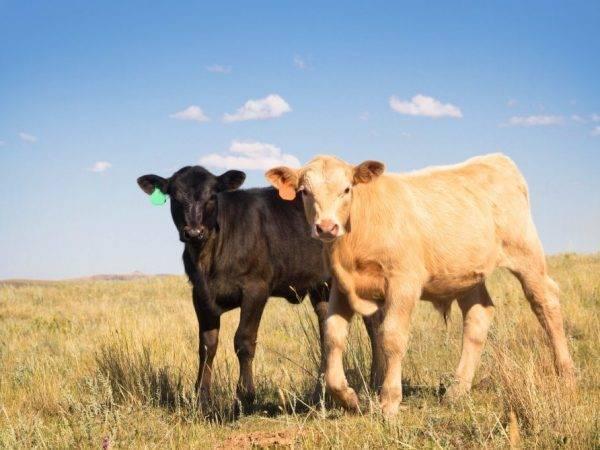 Определение массы крупного рогатого скота - сколько весит корова 2020