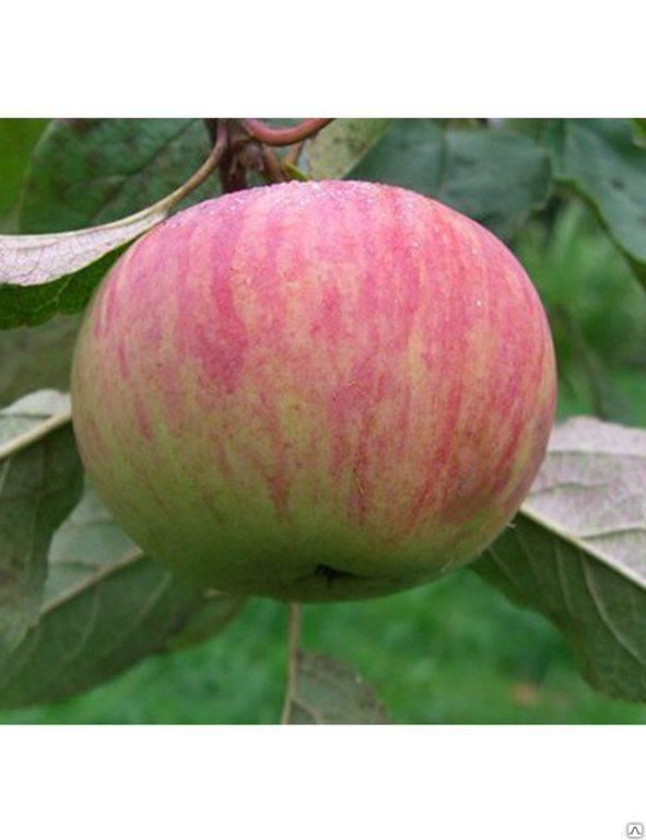 Яблоня «коричное полосатое»: особенности выращивания и уход