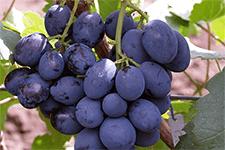 Сорт винограда сфинкс: характеристика и описание с фото