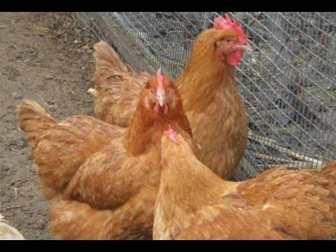 Куры ломан браун (17 фото): описание, плюсы и минусы несушек и петухов данной породы, особенности выращивания цыплят в домашних условиях, отзывы владельцев