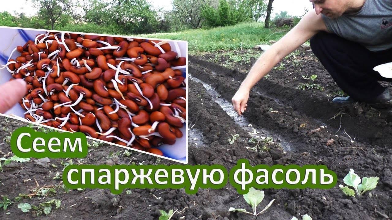Как сажать фасоль в открытый грунт