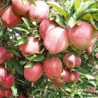 Секреты успешного выращивания яблонь «чемпион»
