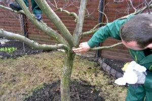 Если яблоня замерзла: что делать с подмерзшей верхушкой, как обрезать лишнее