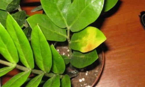 Основные болезни амариллиса: почему желтеют листья, как избавиться от вредителей и другие проблемы