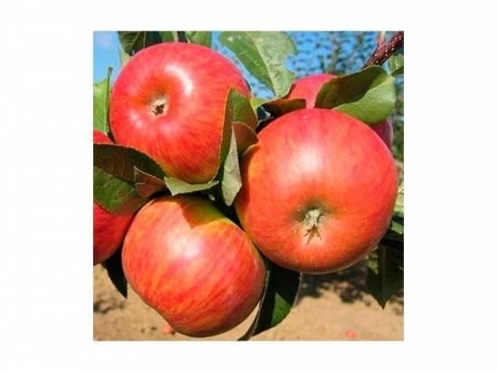 Яблоня «конфетное»: описание сорта, фото и отзывы
