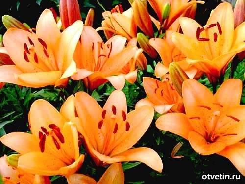 О посадке лилии в открытый грунт: когда хорошо высаживать, как правильно