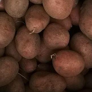 Картофель сынок: 8 особенностей и 11 советов по выращиванию и хранению
