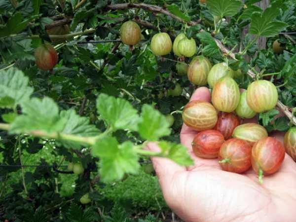 Крыжовник янтарный — ягоды грибы