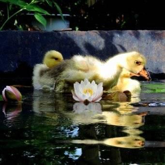 Понос у цыплят - лечение поноса