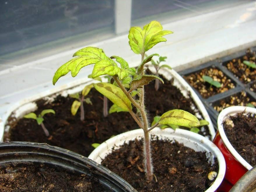 Что делать, если на листьях помидоров появились пятна?