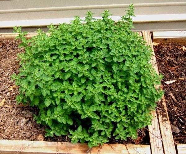 Секреты выращивания душицы из семян. выбор места, времени и посадочного материала, советы по уходу и фото
