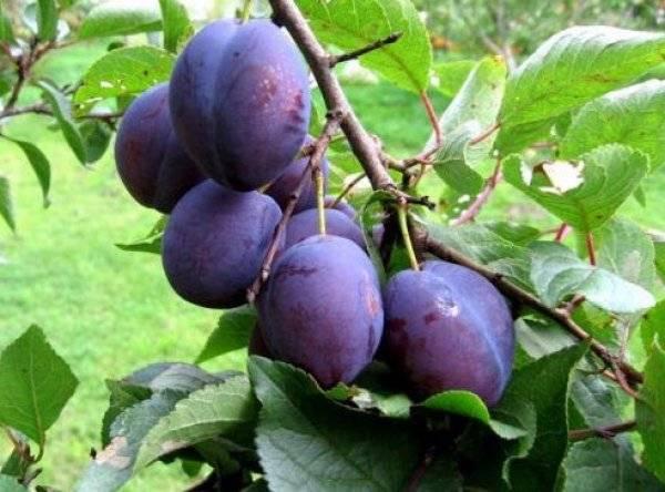 Размножение алычи - моя дача - информационный сайт для дачников, садоводов и огородников