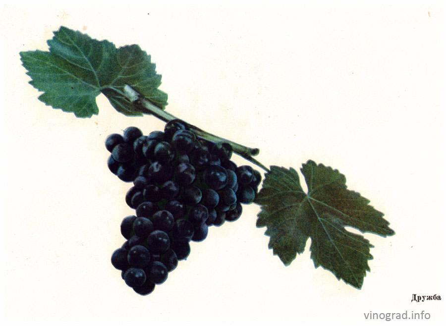 Столовый универсальный мускатный сорт — виноград «дружба»: фото и описание