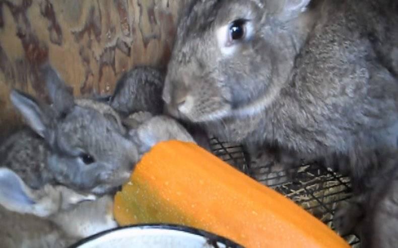 Можно ли давать кроликам тыкву? особенности питания и рекомендации - общая информация - 2020