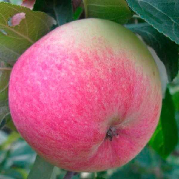 Зимние сорта яблонь – 3 основных вида и раскладка по регионам