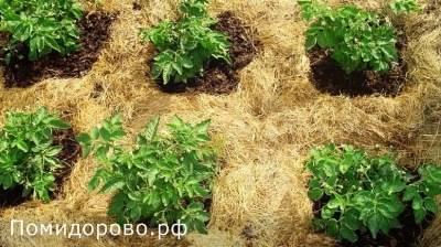 Мульчирование картофеля для увеличения урожая: скошенной травой и другие способы