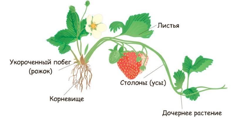 Почему клубника не цветет и не плодоносит, а только растут усы?