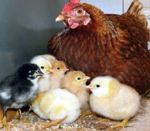 Кокцидиоз у цыплят – особенности заболевания и как с ним справиться