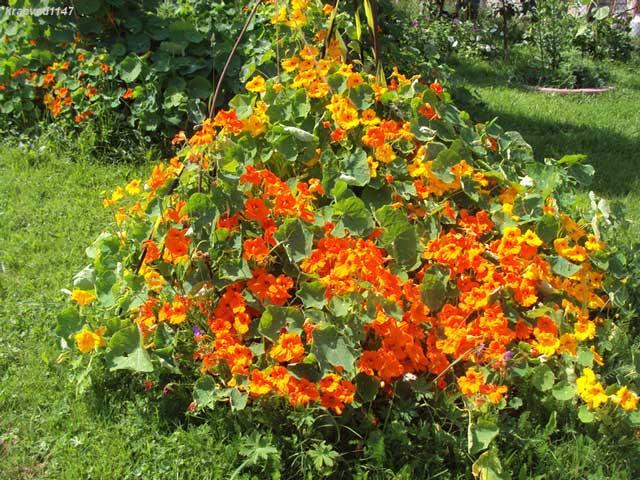 Настурция — трофей садовода