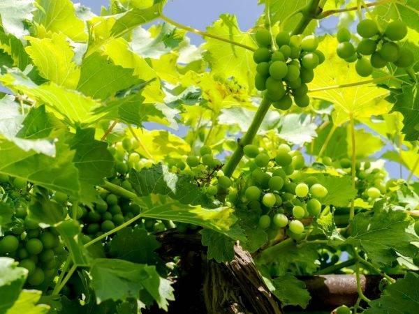 Описание и фото сорта винограда велес