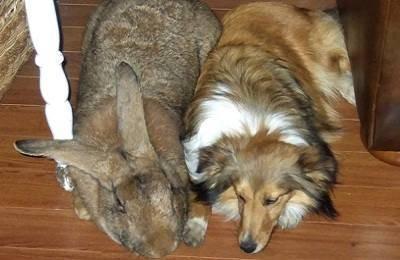Описание породы кроликов фландр: фото, особенности и содержание