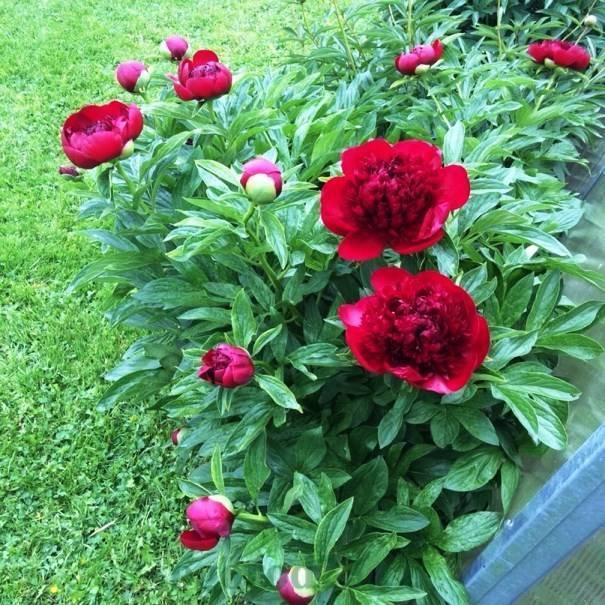 Когда и как пересаживать пионы? когда лучше пересадить их на другое место осенью? когда зацветут пионы после пересадки?