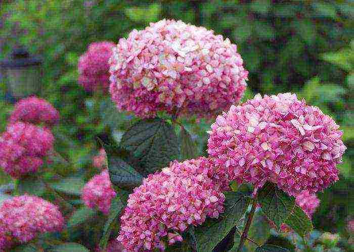Древовидная гортензия «анабель» — особенности выращивания