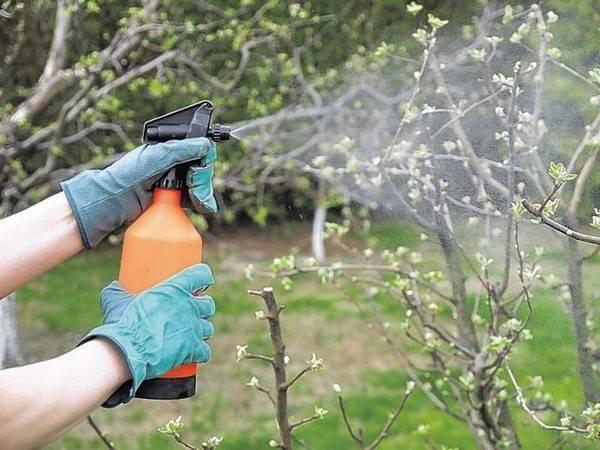 Определяемся, когда опрыскивать яблони от вредителей без вреда для урожая