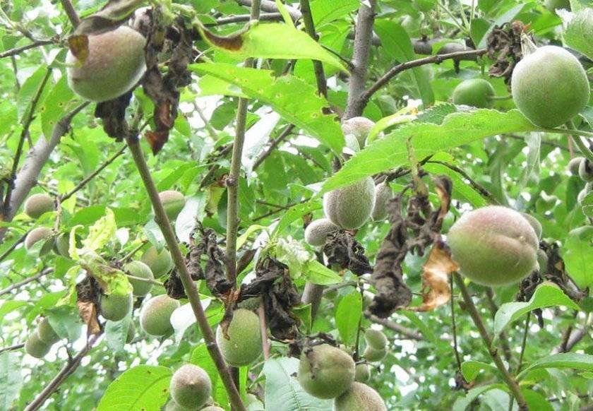 Болезни абрикоса и борьба с ними. фото