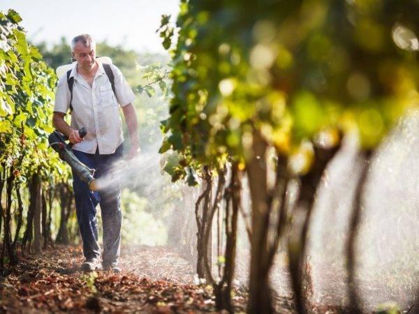 Чем обработать виноград весной?