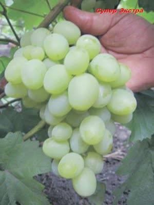Самый морозостойкий гибрид: виноград «супер экстра»
