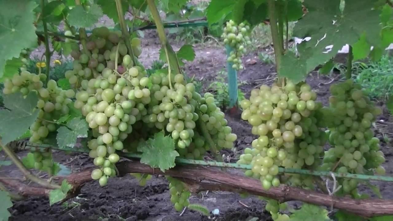 Виноград тасон — столовый раннеспелый и урожайный сорт