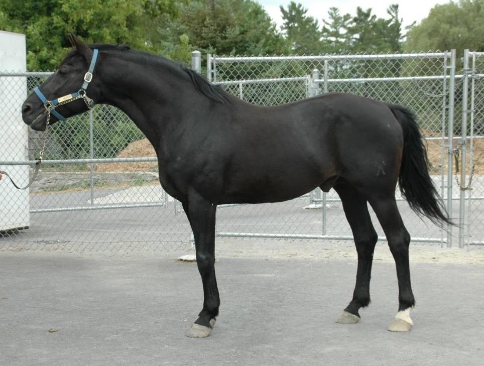 Ганноверская лошадь — википедия. что такое ганноверская лошадь