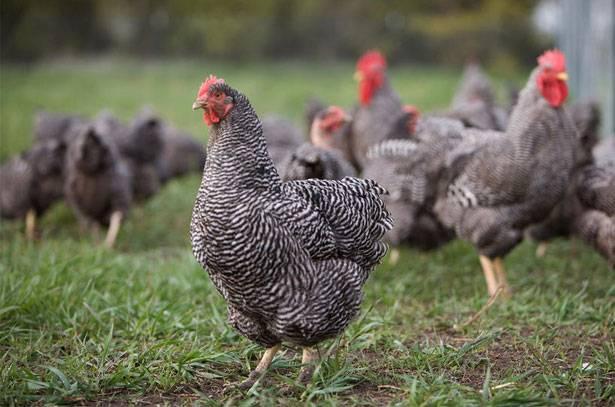 Плимутрок порода кур: описание, содержание и кормление