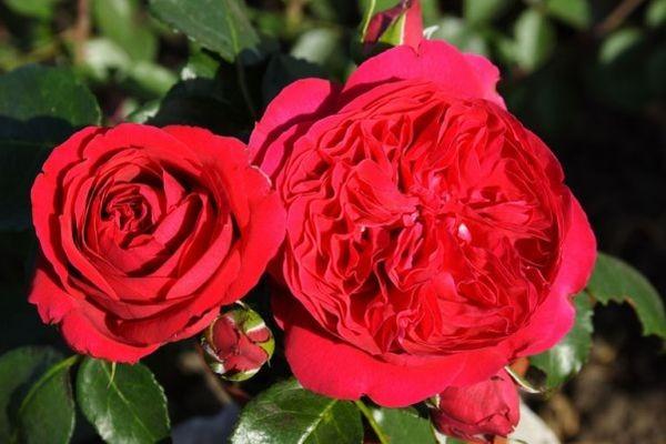 Канадские розы: описание сорта