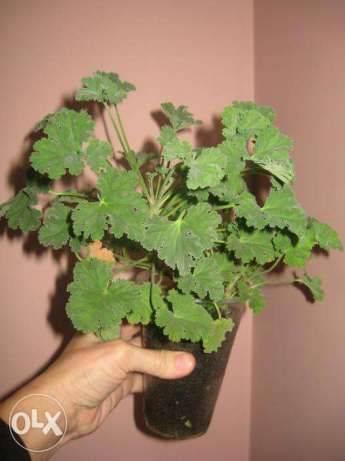 Душистые пеларгонии (scented leaf pelargoniums)